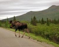 Moose caboose